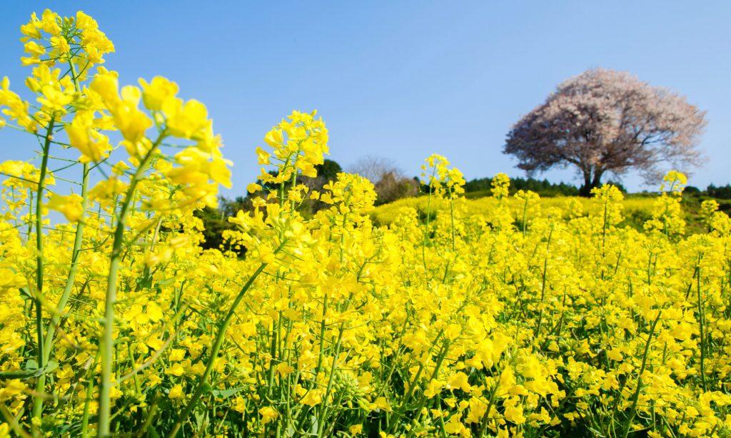 春の花 菜の花
