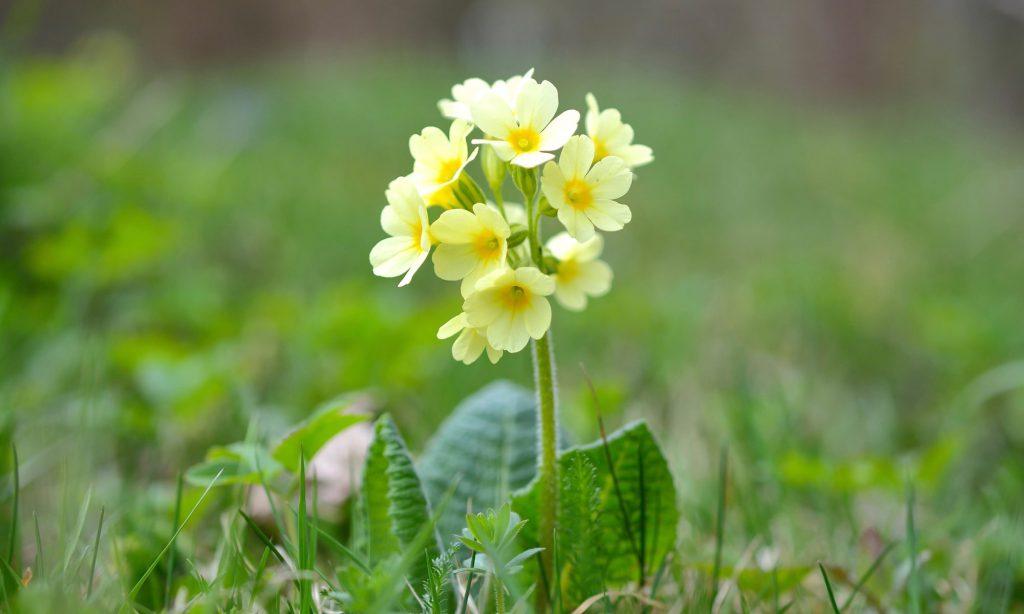 プリムラ 黄色い花